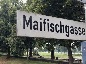 Maifisch, eine Heringsart, wurde früher in großer Menge im Rhein von Poller Fischern gefangen